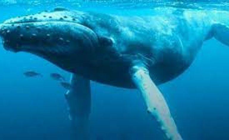 """""""Missione Pelagos, balene e delfini dei nostri mari"""": un progetto per la dofesa dei cetacei anche nel Tirreno""""Missione Pelagos, balene e delfini dei nostri mari"""": un progetto per la difesa dei cetacei anche nel Tirreno"""